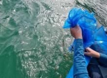 [울진]연안어장 수산자원 회복을 위한 해삼 방류